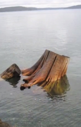 Stump Stasis documents the shifting of landscape over the course of several years from the perspective of a washed up stump in commencement bay.